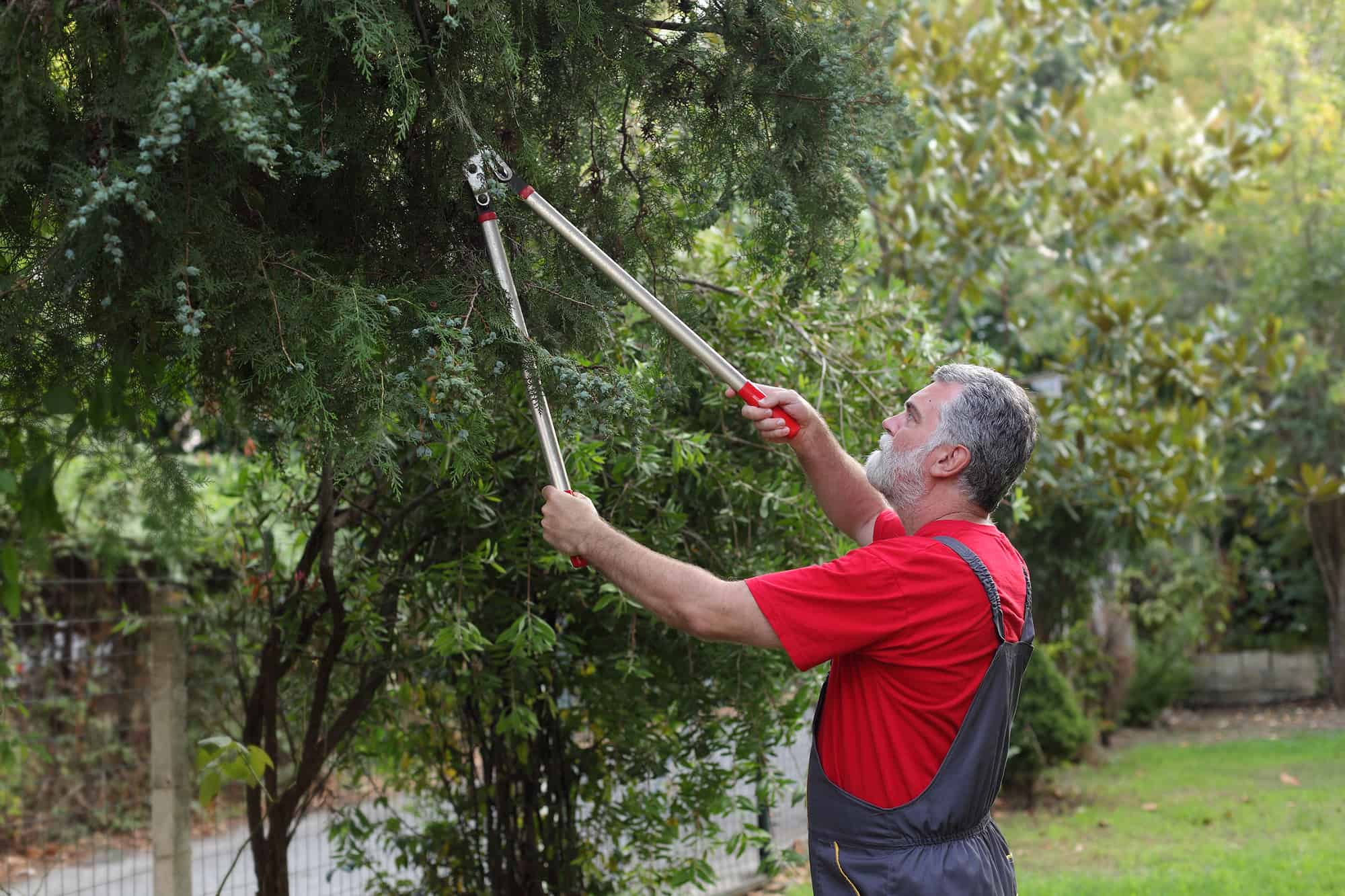pruning lopper by gardener